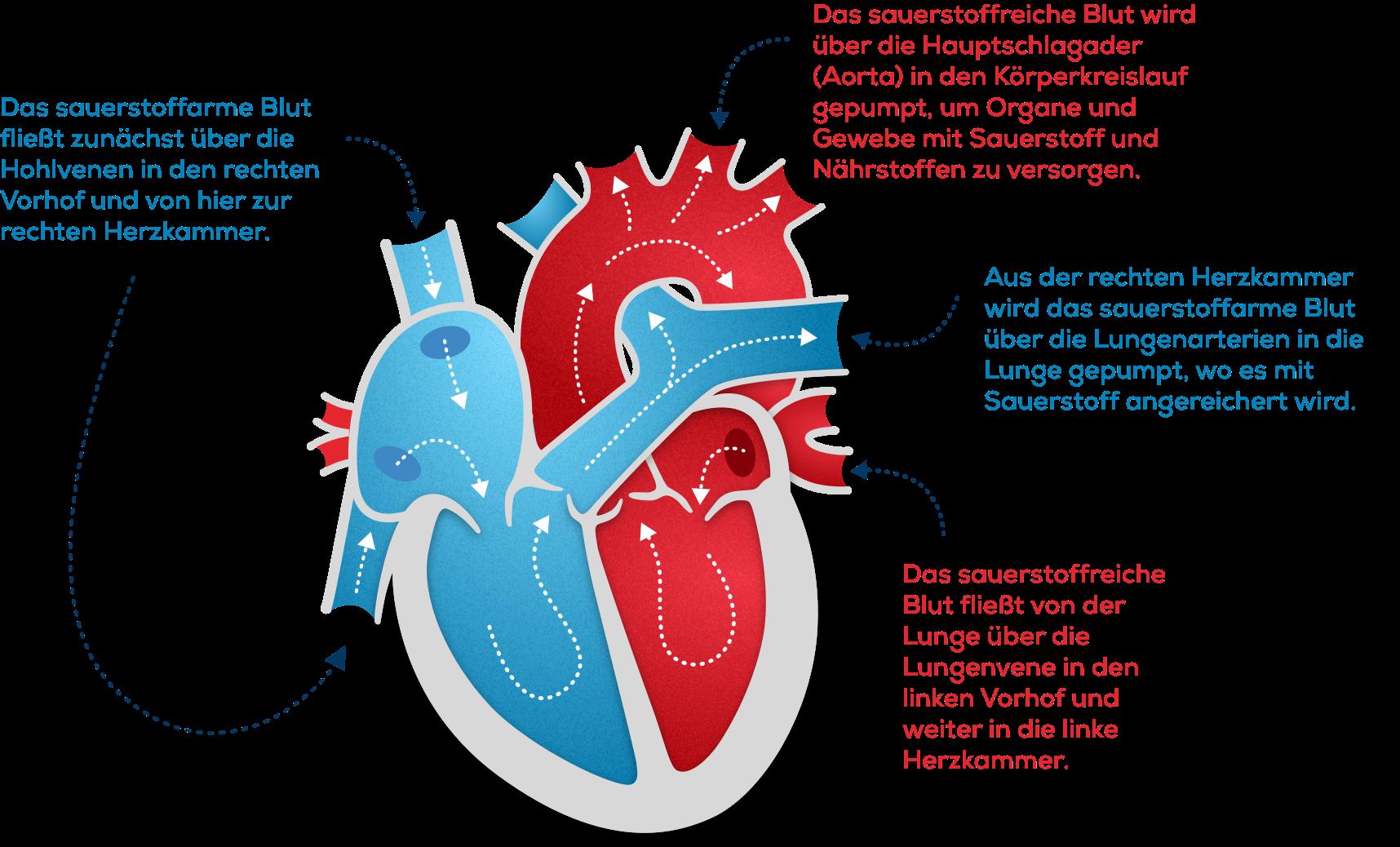 Wie funktioniert das Herz   www.herzbewusst.de